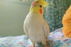 狸哥说:该选择养一只玄凤鹦鹉还是两只呢?