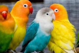 狸哥说:分享几个买牡丹鹦鹉时选鸟的经验